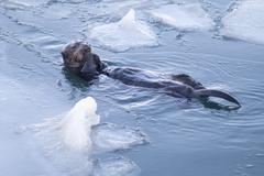 Alaskan sea otter cracks seashells floating animal wildlife fishing Stock Photos
