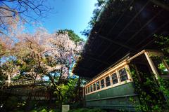 Train with Blossoming cherry trees Stock Photos