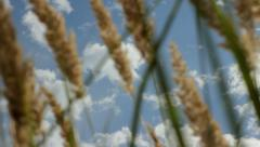 Sky Clouds through Dry Grass in Wind, tilting up HD Stock Footage