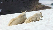 Stock Video Footage of Mountain Goats (Oreamnos americanus)