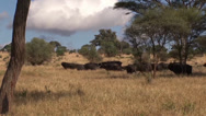Stock Video Footage of African cape buffalo running in the savanna plains of Africa