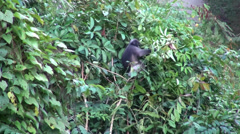 Dusky Leaf Monkeys (Gray langur) -  2/3 Stock Footage