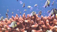 Table coral and many small fish, shot 3 of 3 Stock Footage