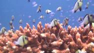 Stock Video Footage of Table coral and many small fish, shot 3 of 3