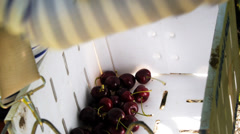 Cherries in picker's bin Stock Footage