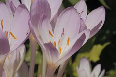 autumn crocus (colchicum autumnale) - stock photo