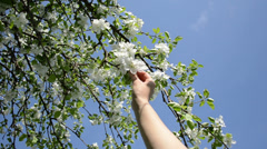 Woman hands pick apple tree blooms petal on blue sky in spring Stock Footage