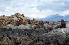 seals, beagle channel, argentina - stock photo