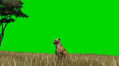 Cheetah in the savanna - seperated on green screen Stock Footage