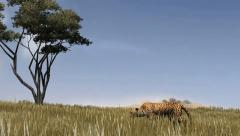 Cheetah sneaks through the savannah Stock Footage