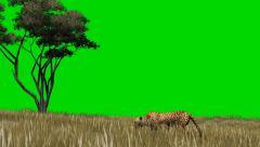 Cheetah sneaks through the savannah - seperated on green screen Stock Footage
