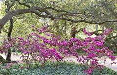 Azaleas oaks ivy Stock Photos