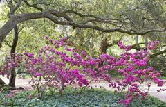 azaleas oaks ivy - stock photo