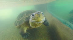 Giant River Turtle Stock Footage