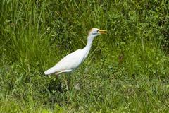 Stock Photo of cattle egret (bubulcus ibis)