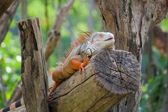 iguana reptile sitting - stock photo