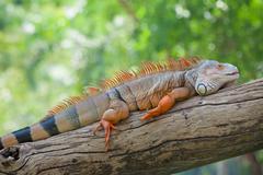 iguana reptile sitting - stock photo