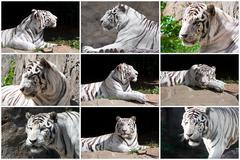 Collage of White Tiger Stock Photos