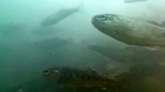 Three month old rainbow trout underwater Stock Footage