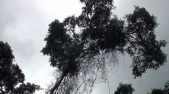 Looking up at a large jungle tree Stock Footage