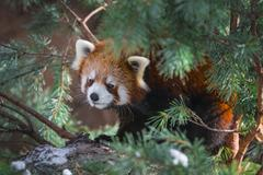 red panda in the pine trees - stock photo