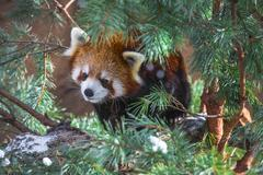 Red panda in the pine trees Stock Photos