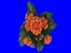 Time-lapse of opening orange kalanchoe flower 1x3 (DCI-2K) Stock Footage