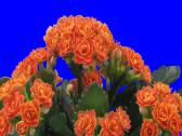 Stock Video Footage of Time-lapse of opening orange kalanchoe flower 2a3
