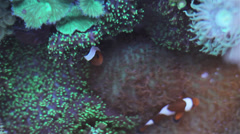 Coral reef anemones 3 Stock Footage