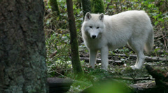 Young Gray Wolf 2 Stock Footage