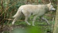 Young Gray Wolf running Stock Footage