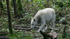 Young Gray Wolf 1 Stock Footage