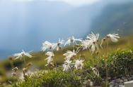 Stock Photo of Italy, Province of Belluno, Veneto, Auronzo di Cadore, cotton grass