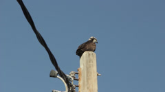 Osprey (Pandion Haliaetus) Stock Footage