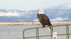 Stock Video Footage of Bald Eagle on Gate, taking off