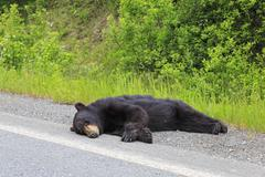 Canada, British Columbia, Dead black bear at roadside on Stewart-Cassiar Highway Stock Photos