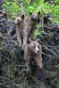 Stock Photo of Canada, Khutzeymateen Grizzly Bear Sanctuary, Female grizzly bear with offspring