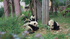 Five Giant Pandas Eating Bamboo in Chengdu, China - stock footage