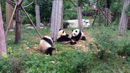 Stock Video Footage of Pan of Five Giant Pandas Eating Bamboo in Chengdu, China