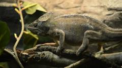 Panther chameleon - furcifer pardalis Stock Footage