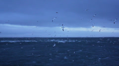 Iceland seagulls hunting fish Stock Footage