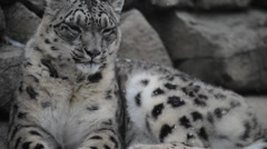 snow leopard - stock footage