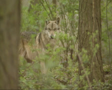 Grey wolf (canis lupus) in forest - on camera Stock Footage