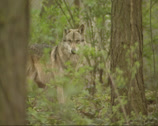 Stock Video Footage of Grey wolf (canis lupus) in forest - on camera