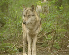 Grey wolf (canis lupus) - on camera Stock Footage