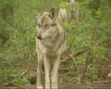 Stock Video Footage of Grey wolf (canis lupus) - on camera