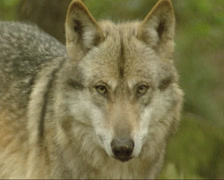 Grey wolf (canis lupus) - on camera, close up Stock Footage