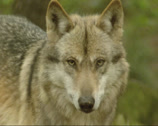 Stock Video Footage of Grey wolf (canis lupus) - on camera, close up