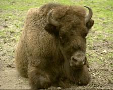 Wisent, Bison bonasus or European Bison Stock Footage