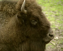 Wisent, Bison bonasus or European Bison - close up Stock Footage